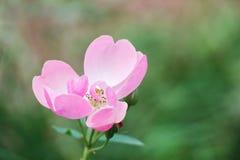 Blühende Rosarose mit grünem Hintergrund Stockbild