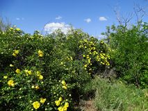 Blühende Rose Lizenzfreies Stockbild