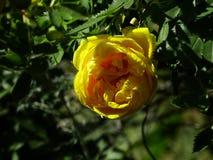 Blühende Rose Lizenzfreie Stockfotos
