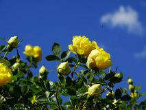 Blühende Rose Stockfotos