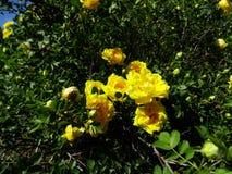 Blühende Rose Stockfotografie