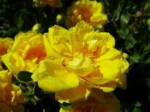 Blühende Rose Stockbild