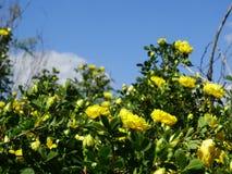 Blühende Rose Lizenzfreie Stockfotografie