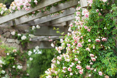 Blühende Rosen Stockfoto