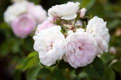 Blühende Rosen Stockbilder