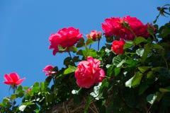 Blühende Rosen Stockbild