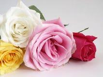 Blühende Rosen auf Weiß Lizenzfreie Stockfotografie