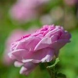Blühende Rosen der Blume Lizenzfreies Stockbild