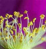 Blühende Rosen des Pistil Stockfoto