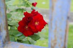 Blühende Rosen des Rotes sind hinter einem blauen Zaun Stockfoto
