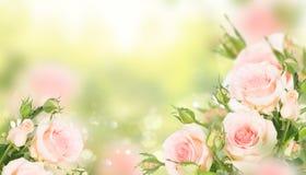 Blühende Rosen des Veilchens Stockfoto