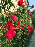 Blühende Rosen im Garten Lizenzfreie Stockfotografie
