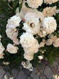 Blühende Rosen im Garten Stockfotografie