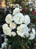 Blühende Rosen im Garten Lizenzfreies Stockbild