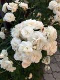 Blühende Rosen im Garten Stockbilder