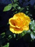 Blühende Rosen im Garten Lizenzfreie Stockfotos