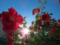 Blühende Rosen im Garten Lizenzfreie Stockbilder