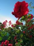 Blühende Rosen im Garten Stockbild