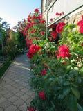 Blühende Rosen im Garten Lizenzfreies Stockfoto