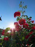 Blühende Rosen im Garten Stockfoto