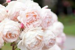 Blühende Rosen im Garten Stockfotos