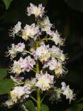 Blühende Rosskastanie, Aesculus hippocastanum, Blütentraubeblütentraube auf dunkler Hintergrundnahaufnahme Stockbild