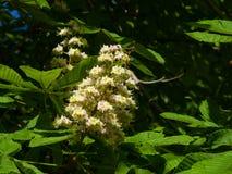 Blühende Rosskastanie, Aesculus hippocastanum, Blütentraubeblütentraubenahaufnahme, selektiver Fokus, flacher DOF Stockbild