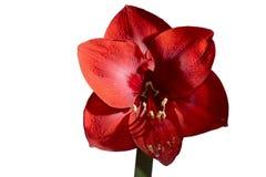 Blühende rote Amaryllis auf weißem Hintergrund Lizenzfreie Stockfotografie