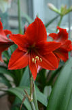 Blühende rote Amaryllisblume lizenzfreies stockbild