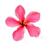 Blühende rote Blume des treelike Hibiscus Stockfotografie