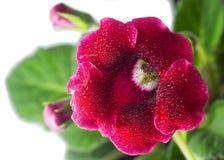 Blühende rote Blume mit grünen Blättern Lizenzfreies Stockbild