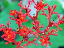Blühende rote Blumen Lizenzfreies Stockfoto