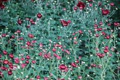 Blühende rote Chrysanthemenblumenknospen stockbild