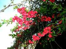 Blühende rote Ixora-Blumen Feld des grünen Grases gegen einen blauen Himmel mit wispy weißen Wolken Lizenzfreie Stockbilder