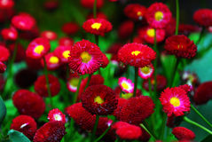 Blühende rote Mama in butchart g Stockfotos