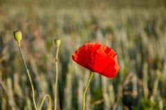 Blühende rote Mohnblume Lizenzfreies Stockbild