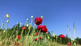 Blühende rote Mohnblumen gegen den blauen Himmel, Ansicht von unten stock video