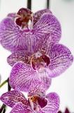 Blühende rote Orchidee Lizenzfreies Stockfoto