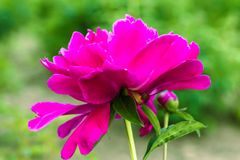 Blühende rote Pfingstrosenblumennahaufnahme Stockbild