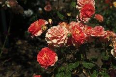 Blühende rote Rosen Lizenzfreies Stockbild