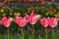 Blühende rote Tulpen Lizenzfreies Stockfoto