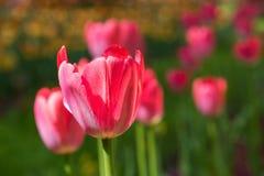 Blühende rote Tulpen Stockfotos