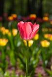 Blühende rote Tulpen Lizenzfreie Stockfotos