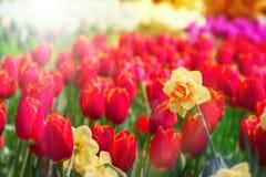 Blühende rote Tulpen und gelbe Narzissennahaufnahme Stockbilder
