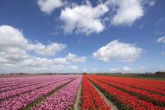Blühende rote Tulpen unter einer schönen Wolke des Himmels Lizenzfreie Stockfotografie