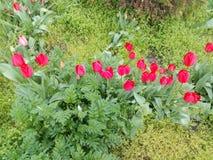 Blühende rote Tulpen unter grünem Gras Lizenzfreie Stockfotos