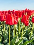 Blühende rote Tulpen vom Abschluss Stockbilder