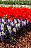 Blühende rote Tulpen-, weiße und Purpurrotehyazinthen Stockfotos