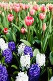 Blühende rote Tulpen-, weiße und Purpurrotehyazinthen Stockfoto