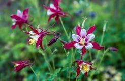 Blühende rote und weiße aquilepies auf einem Rasen Stockfoto